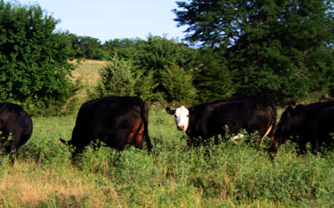 Wells Family Farms cows